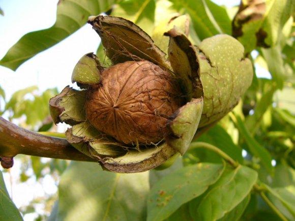 Výsledek obrázku pro vlašské ořechy
